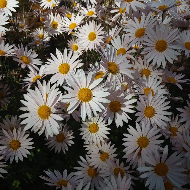 My favorite flower. My grandfather gave me my first plant and it was Gerber #daisies #denver #gardens #travel