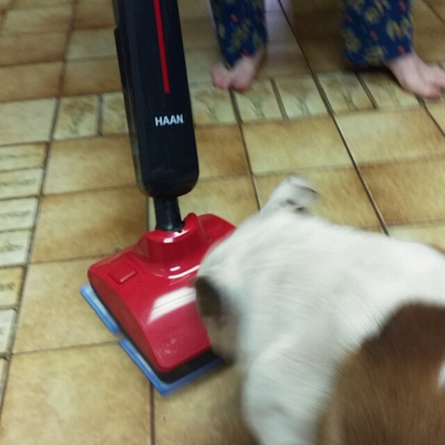 The bulldog does NOT like the @haan steam mop. #bulldogs #dogsofinstagram #cleaning #funny