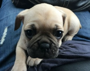 Welcome Our New Pug Puppy Sapphire
